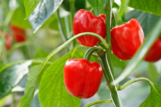 Какие бы сорта перца для открытого грунта не были бы выбраны, для получения урожая требуется соблюдать агротехнику